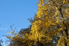 Autumn sky. Autumn blue sky and the tops of yellow trees - a beautiful background for the gadget Royalty Free Stock Photo