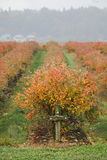 Autumn Blueberry Bushes. Blueberry bushes in the autumn have turned red Stock Photos