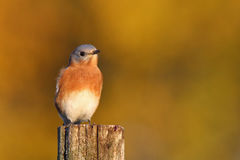 Autumn Bluebird stock photography