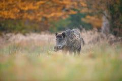 Autumn boar Stock Photos