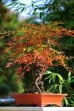 Autumn bonsai Stock Photography