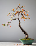 Autumn bonsai tree. Bonsai tree with autumn leaves Stock Photography