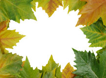 Autumn border. A border from autumn leaves surrounding a white background Stock Images