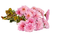 Autumn bouquet of chrysanthemums Stock Image