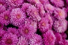 Autumn bouquet of violet chrysanthemums Stock Photos