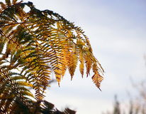 Autumn bracken. Bracken against a blue sky, turning golden as it withers and dies, backlit by evening sunlight stock image