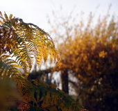 Autumn bracken. Bracken, turning golden as it withers and dies, backlit by evening sunlight stock image