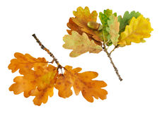 Autumn branch Stock Images