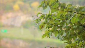 Autumn Branch. Branches of a tree in autumn forest stock video footage