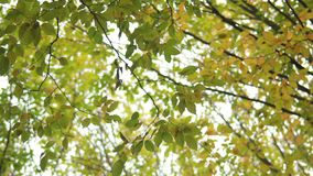 Autumn Branch. Branches of a tree in autumn forest stock footage