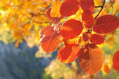 Autumn branch with bright red leaves royalty free stock photo