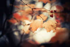 Autumn branch Royalty Free Stock Photo
