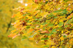 Autumn branch of maple tree Stock Images