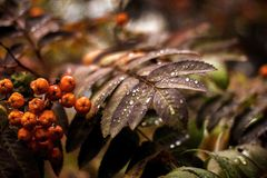 Autumn branch of a mountain ash with a drop stock photography