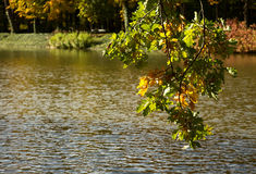 Autumn. Branch with oak leaves on a background of water.Horizont Royalty Free Stock Images