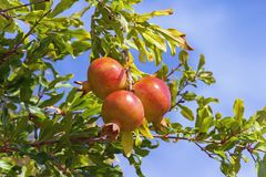 Autumn. Branch of pomegranate tree with leaves and ripe fruits against blue sky. Autumn. Branch of pomegranate tree Punica granatum with leaves and ripe fruits royalty free stock images
