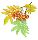 Autumn branch of rowan with berries and leaves Royalty Free Stock Images