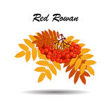 Autumn branch of rowan leaves and berries Royalty Free Stock Image