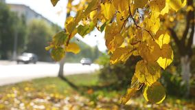 Autumn branch tree swaying in the wind in the background Road traffic Car nature. Autumn branch tree swaying in the wind in the background Road traffic Car stock video footage