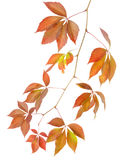 Autumn branch of wild grapes Stock Photography