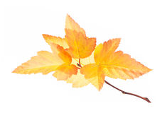 Free Autumn Branch With Gold Leaves Isolated On White Stock Photography - 34494182
