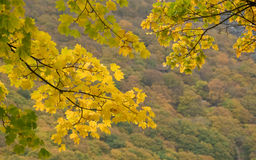 Autumn Branches. Branches full of autumn leaves with a forest backdrop stock photography