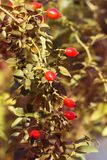 Autumn branches of a bush of a dogrose with red fruits Stock Images