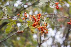 Autumn branches of hawthorn with red fruits. Branches of hawthorn with fallen leaves. Harvest of hawthorn. Falling leaves natural stock photos