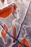 Autumn branches with hoar frost and cobwebs in the rays of the r. Ising sun Royalty Free Stock Photos