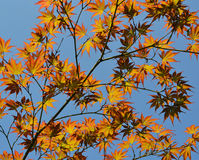 Autumn branches over blue sky. Background Royalty Free Stock Photos
