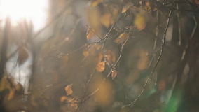 In autumn the branches of a tree with yellow leaves sway from the wind. An abundant leaves fall from the plants, which are illuminated by the sun. Rays make stock footage