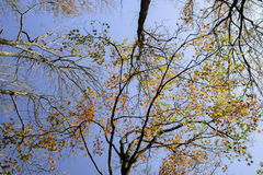 Autumn branches of trees against the sky Royalty Free Stock Photos