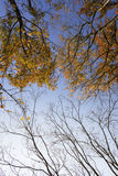 Autumn branches of trees against the sky Royalty Free Stock Images