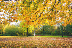 Autumn branches with yellow leaves. In autumn colors hanging over the ground covered with maple leaves in autumn Royalty Free Stock Photos