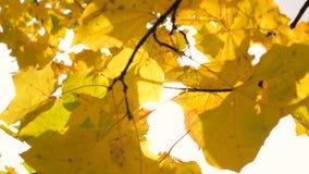 In Autumn Branches Of Yellow Maple-Blättern, die vom Wind beeinflussen stock footage