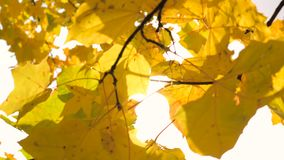 In Autumn Branches Of Yellow Maple Leaves Swaying From The Wind. Branches of yellow maple leaves give way to a sunshine, swaying from the wind in Autumn. Slow stock footage