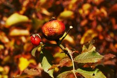 Autumn brier Royalty Free Stock Image