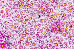 Autumn bright colored chrysanthemum Stock Photography