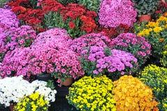 Autumn bright flowers Royalty Free Stock Photo