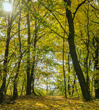 Autumn bright forest Royalty Free Stock Image