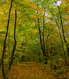 Autumn bright forest Royalty Free Stock Photo