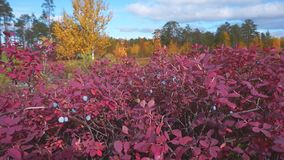 Autumn bright landscape. Autumn landscape with red bilberry bush and juicy berries stock footage