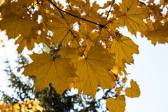 Autumn bright leaves on a tree Royalty Free Stock Photo