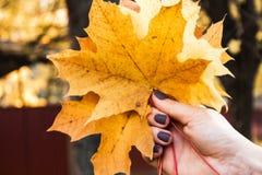 Autumn bright leaves in woman hand. An autumn bright leaves in woman hand stock photography