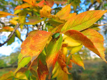 Autumn, bright maple leaves Stock Photography