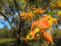 Autumn, bright maple leaves stock photos