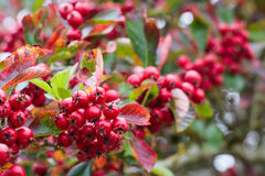 Autumn bright red berries Royalty Free Stock Photo