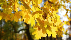 Autumn bright yellow leaves of a maple stock video