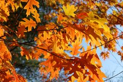 Free Autumn Bright Yellow Orange Oak Tree Leaves With Blue Sky Royalty Free Stock Photo - 161573615