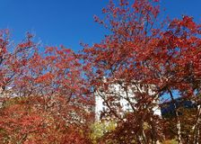 Autumn brightly red foliage Royalty Free Stock Image